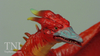 S.H. MonsterArts Fire Rodan Figure Video Review & Images